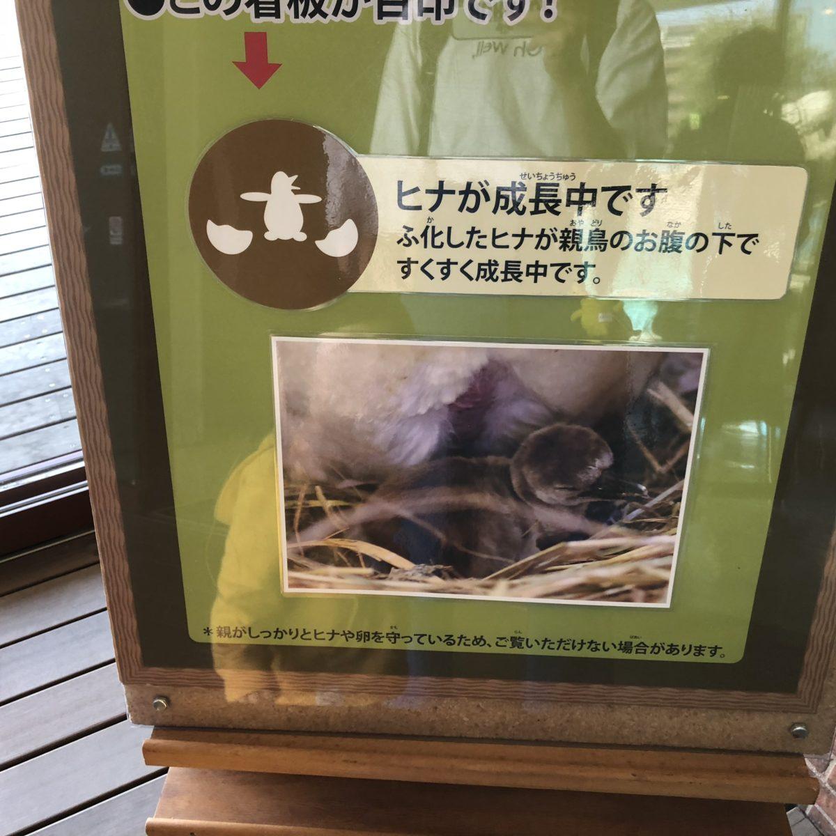 ペンギンのヒナ案内